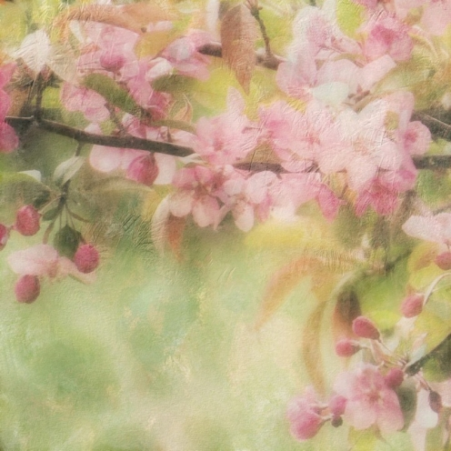 Apple Blossom Frost