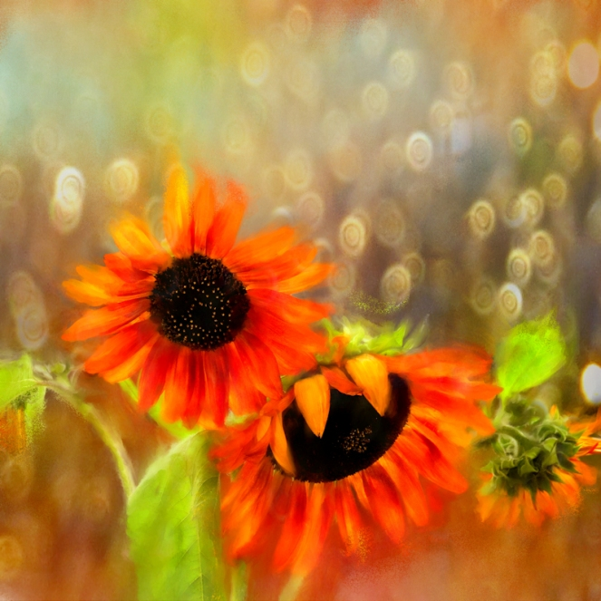 Sunflower Rain