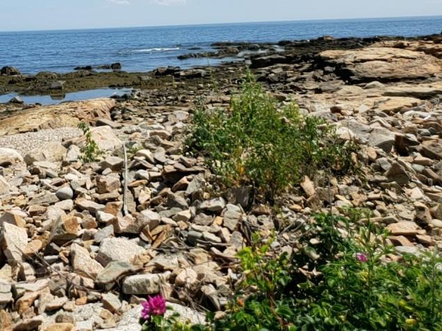 Beach Roses at Bass Rocks